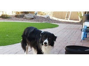 Available Border Collies